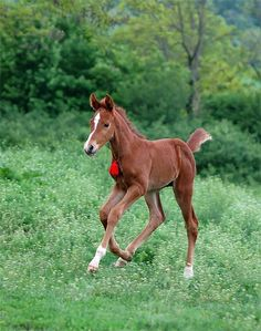 Red tassled filly
