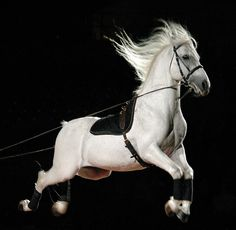 performing lipizzaner... amazing/ I saw these horses perform in Austria! Amazing