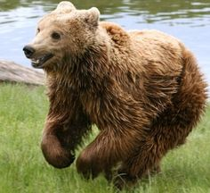 Happiest Bear on earth galloping
