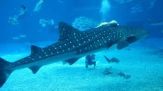Okinawa Churaumi Aquarium 沖縄美ら海水族館. Video by Dylan Mawhinney.