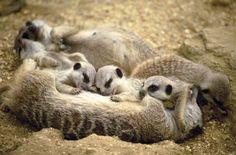 Baby meerkats sleeping with their parents.