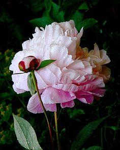 One of my favorite flowers, Peony