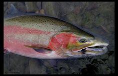 British Columbia Steelhead Will Blanchard - Fly Fishing Photography