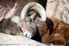 The Warmth of the Sunshine - A mature captured big horned sheep soaks up the warmth of the sun on a mild January day at the Denver Zoo - Denver CO