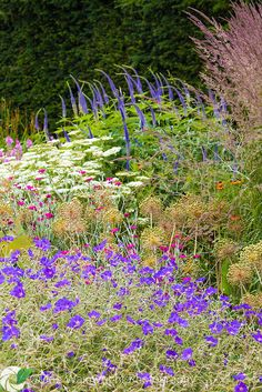 Geraniums, lychnis coronaria, veronicastrum and ornamental grasses combine with allium seed heads to create a tapestry of colour at Bluebell Cottage Gardens, Cheshire - photographed in July.