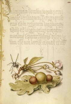 Spider, Sweet Cherry Flower, and English Oak Leaf with Galls, Joris Hoefnagel illuminator, Mira calligraphiae monumenta 86.MV.527.