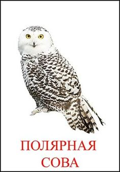 Полярная сова картинка для детей Montessori Materials, Owl, Bird, Animals, Inspiration, Biblical Inspiration, Animales, Animaux, Owls