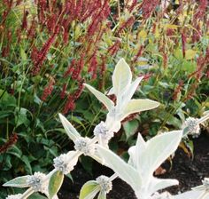 Persicaria Taurus and Stachys Helene vonStein Contrasting texture of two…