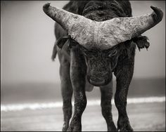 Nick Brandt: Buffalo with Lowered Head, Amboseli, 2007, Nick Brandt Art Gallery, Nick Brandt Pictures, Nick Brandt Photos - New York City