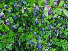 Mirto, una pianta magica, scopri proprietà e ricette su Emozione Sardegna