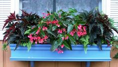 This window box with Rex and Dragon Wing begonias is drought tolerant and maintenance free.