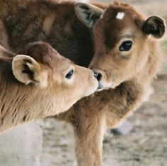 Kissing cows! aww @breaapedersen