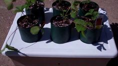 The Amazing Self Watering Strawberry Patch Pop Bottle Garden! You Got To...