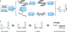 Researchers at the University of North Carolina, Chapel Hill found that chimeric RNA-cDNA fragments can also be detected at 5′ end stem-loop...