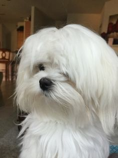 I miss my little Maltese!!!!! Looks just like him and after 11 years without a dog, I am ready for one!