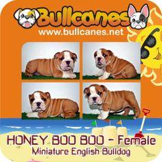Bulldog Puppies For Sale, French Bulldog Puppies, Miniature English Bulldog, Facebook, Dogs, Youtube, Animals, Instagram, Animales