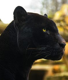 """Jin Rayne"" from ""Change of Heart""? Beautiful Cats, Animals Beautiful, Cute Animals, Black Panther Cat, Panther Pictures, Black Panthers, Gato Grande, Black Jaguar, Bad Cats"
