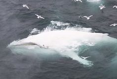 Rare White Humpback Whale Spotted Near Norway