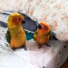 Cute Little Animals, Cute Funny Animals, Cute Dogs, Love Birds Pet, Cute Birds, Funny Parrots, Funny Birds, Conure, Pretty Birds