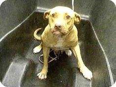 Phx, Az.     Breed:    American Pit Bull Terrier Mix    Color:    Unknown    Age:    Adult        Size:    Large 61-100 lbs (28-45 kg)    Sex:    Female     ID#:    5198615      I am already spayed.    A3229981's Story...       Act quickly to adopt A3229981. Pets at this shelter may be held for only a short time.