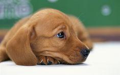 壁紙をダウンロードする ダックスフン, 子犬, ペット, 犬, マズル, 茶色のダックスフン, 近, かわいい動物たち, 犬ダックスフン