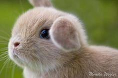 Foto 4 süße Teddy Widder Baby Kaninchen vom Züchter