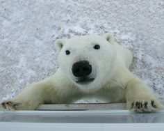 Churchill, Manitoba Polar Bear Tours
