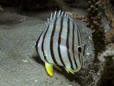 Eight-banded Butterflyfish  (Chaetodon octofasciatus) - Australia