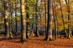 Autumn Light - Autumn Light during sunrise in the forest of estate 'Landgoed Geijsteren' (Geijsteren, Noord-Limburg, Netherlands).  If you like my work you can also follow me at facebook.com/williammevissenphotography :)