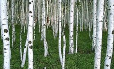YOU Won't Believe What's On SALE! — 5 Gallon White Birch Trees $15.00 While supplies last!  Cannot be Combined with any other special, coupon, yada yada yada.