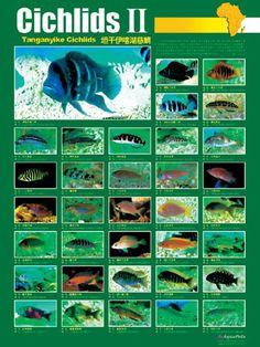 Single 24 posters available ( first . Tropical Freshwater Fish, Tropical Fish Aquarium, Freshwater Aquarium, Fish Ocean, Cichlid Aquarium, Cichlid Fish, Fish Aquariums, Fish Chart, Lake Tanganyika