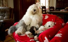 The everyday adventures of a couple of shaggy old English sheepdogs : Telegraph