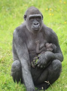 В клане горилл Белфастского зоопарка появилось «маленькое чудо» - http://zoovestnik.ru/2013/09/15244/