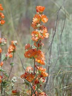 Globemallow: produces a beautiful, soft, cup-shaped flower | Photo from Bentler | 13 Flowers for the Southwest Desert