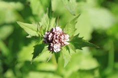 Valerian sitchensis - Sitka Valerian. Seen on many, many hikes!