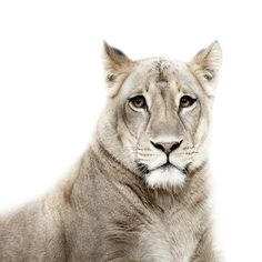 Lion female, 2009 - Animal portraits by Morten Koldby Ocelot, Wild Photography, Animal Photography, Like Animals, Animals And Pets, Big Cats, Cool Cats, Beautiful Cats, Animals Beautiful