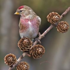 Redpoll taken in the garden | Flickr - Photo Sharing!