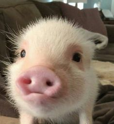 Este cerdito tambien tiene derecho a ser famoso no?🤗🥰🐷 Cute Baby Pigs, Baby Piglets, Cute Piglets, Cute Little Animals, Cute Funny Animals, Happy Animals, Animals And Pets, Teacup Pigs, Mini Pigs