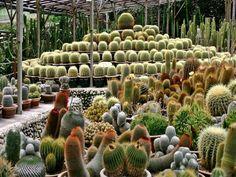Paraisos de cactus en Jardines & Patios Valley cameron highlands