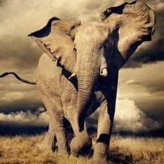 ❥ Elephants ❥   Charge by Alex Bernasconi. BelAfrique your personal travel planner - www.BelAfrique.com