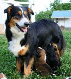 English Shepherd / Farm Collie Dog Pet Dogs, Dogs And Puppies, Dog Cat, Pets, English Shepherd, Australian Shepherd Dogs, Animal Close Up, Farm Dogs, Raining Cats And Dogs