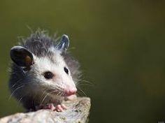 Baby opossum surveying his surroundings.