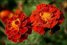 büdöske virág