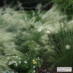 Muhlenbergia capillaris 'White Cloud', White Cloud Muhly Grass:
