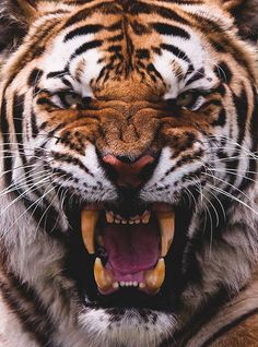 Amur Tiger – Be Afraid, Be Very Afraid! – Big Cat Photography The Amur tiger is king of all cats. Bengalischer Tiger, Angry Tiger, Bengal Tiger, Siberian Tiger, Tiger Cubs, Bear Cubs, Angry Cat, Tiger Face, Tiger Head