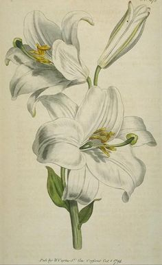 "White Lily means ""Purity, Sweetness"" in the Victorian Language of Flowers."