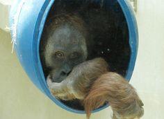 Unsere Orang-Utans | Zoo Heidelberg