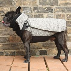 Frenchie in a city coat