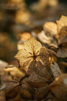 Fleurs d'hortensia séchées... :)  Retrouvez mes photos sur ma page: https://www.facebook.com/pages/Adeline-Morel-Photographie-Dyna-photographie/282084665156485