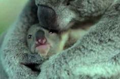 The Moment This Baby Koala Sees Her Mum For The First Time Is Too Goddamn Cute